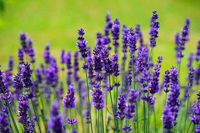 Lavender essential oil for sore muscles