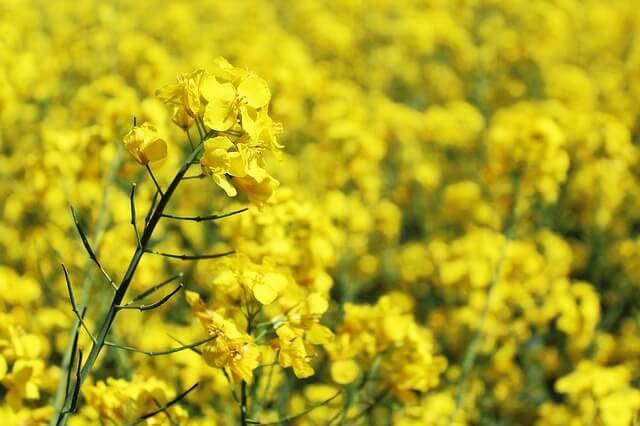 Rapeseed oil canola flower plant