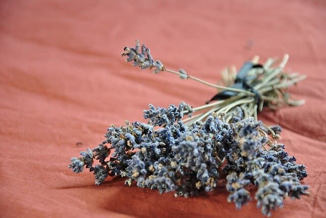 Lavender for making lavender essential oil
