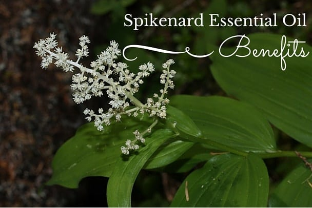 Spikenard Essential Oil Benefits