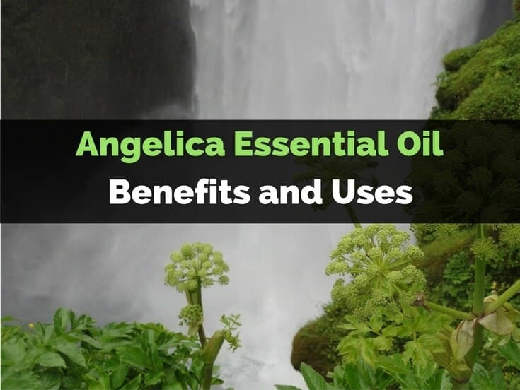Angelica Essential Oil Benefits and Uses