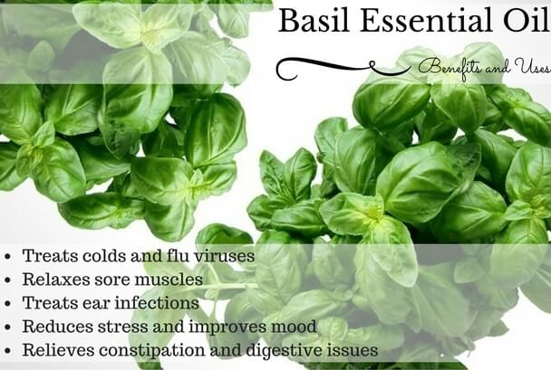 Basil Essential Oil Health Benefits and Uses Listed