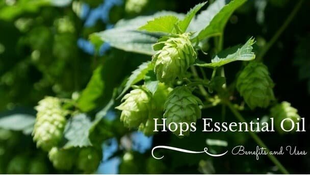 Hops Essential Oil Benefits and Uses