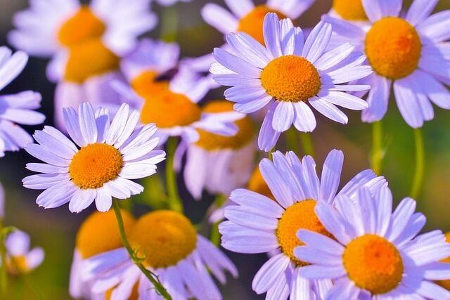 Chamomile Essential Oil for Hair Growth