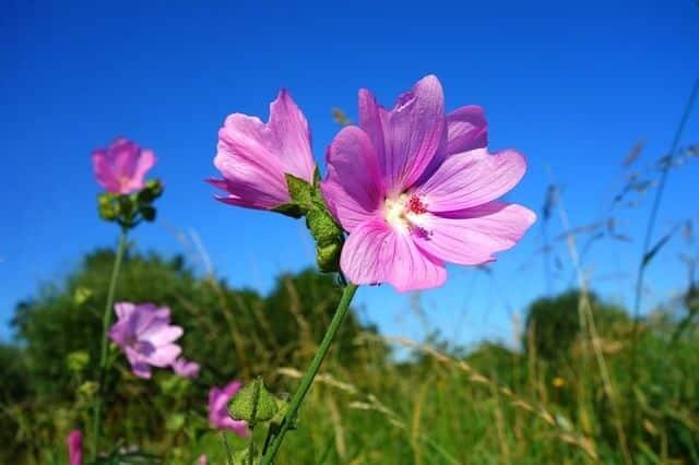 Geranium Essential Oils for Healing Scars and Stretch Marks