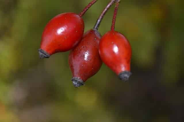 Rosehip Essential Oils for Healing Scars and Stretch Marks