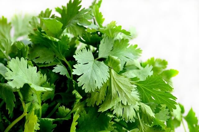 Benefits of Cumin Coriander and Fennel Tea - Coriander Leaves